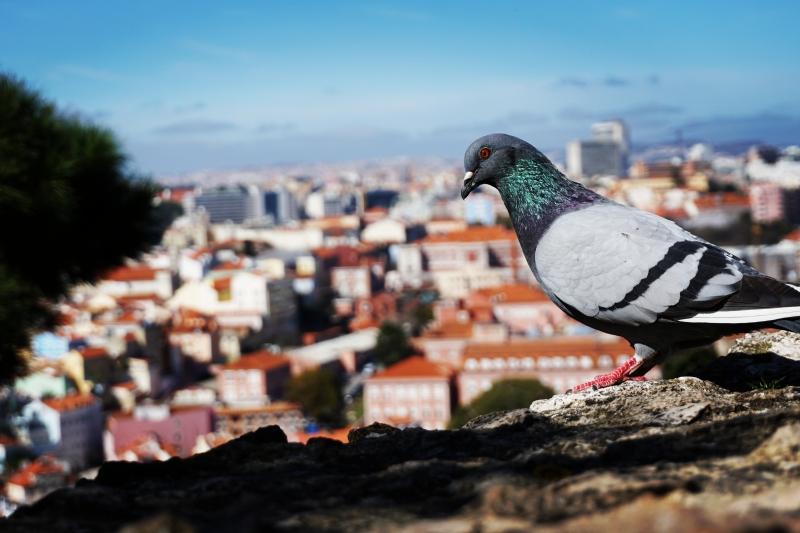Balandis ir Lisabonos stogai